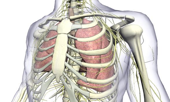 human-body-3D